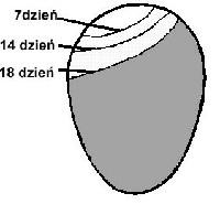 Размер воздушного пространства в яйце во время инкубации